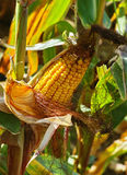 The ripe corn cob on stem Royalty Free Stock Photos