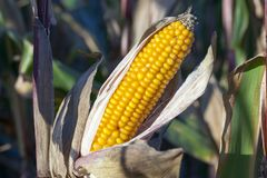 Ripe corn cob. Ripe corn, the cob of which was opened and photographed Royalty Free Stock Image