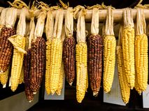 Ripe corn cobs dried in the sun. Organic natural vegan food stock photos