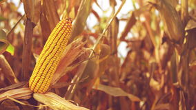 Ripe Corn Ear in Agricultural Cultivated Field in Harvest Season ready for picking, Steady full HD 1920x1080 footage