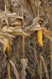 Ripe corn ears. Closeup of ripe corn cob at field Royalty Free Stock Photography