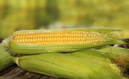Ripe corn ears Stock Images