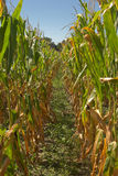 Ripe corn field. Field of corn ready for picking, view down the furrow stock photography