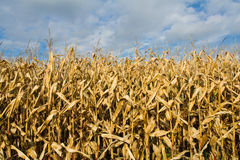 Ripe corn field Stock Photos