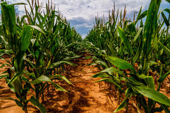 Ripe corn field Stock Images