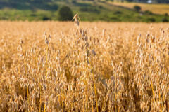 Ripe corn field Royalty Free Stock Photos