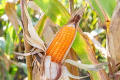 Ripe corn in the Field Royalty Free Stock Photography