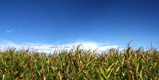 Ripe corn field under sky. Ripe corn field under blue sky Stock Images