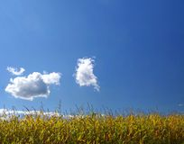 Ripe corn field under sky. Ripe corn field under blue sky Royalty Free Stock Image