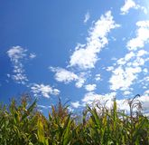 Ripe corn field under sky. Ripe corn field under blue sky Royalty Free Stock Images
