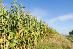 Ripe corn on a field stock images