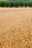 Ripe corn fields. Corn fields just before the harvest, Cenac, Dordogne, France Stock Photo