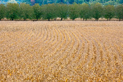 Ripe corn fields Stock Images