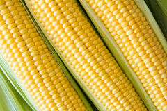 Ripe corn grains on cob and green leaves. Closeup Stock Photography
