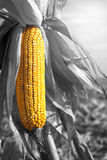 Ripe corn maize ear. Ripe corn maize plant on field ready to harvest. Zea mays subsp. mays Stock Photos