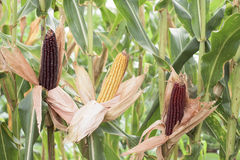 Ripe corn - part of the plant Royalty Free Stock Photos