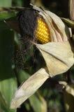 Ripe corn on the plant Stock Image