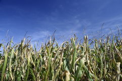 Ripe corn on the plant Royalty Free Stock Image
