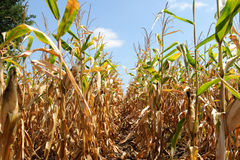 Ripe corn plant with corncob Stock Photo