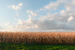 Ripe corn on a rural field Stock Image