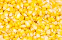 Ripe Corn Seed. Royalty Free Stock Image