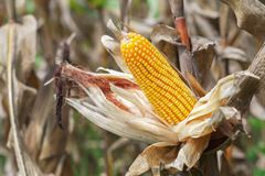 Ripe corn on stalk. In field Royalty Free Stock Image