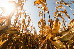 Ripe corn on stalk in field before harvest royalty free stock photo