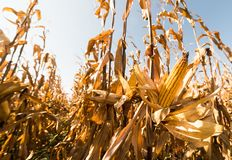 Ripe corn on stalk in field before harvest stock photography