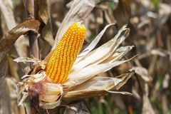 Ripe corn on stalk. In field Stock Photography