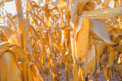Ripe corn on stalk in maize field. Harvest ready ripe corn ear on stalk in cultivated maize field, close up with selective focus Royalty Free Stock Images