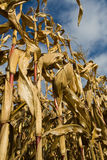 Ripe corn stalks and ears Royalty Free Stock Image