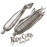 Ripe corn vector logo design template. fresh Stock Photos