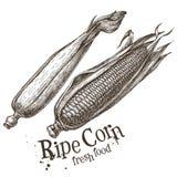 Ripe corn vector logo design template. fresh Stock Photos
