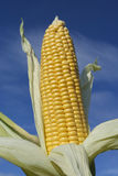 Ripe corncob in autumn Royalty Free Stock Photos
