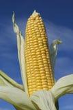 Ripe corncob in autumn Royalty Free Stock Photos