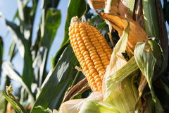 Ripe corncob in the corn field on a sunny day against a blue sky Royalty Free Stock Images