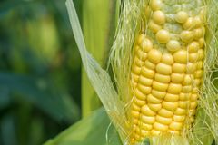 Ripe corncob on the field royalty free stock image