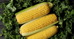 Ripe corncobs on green salad leaves. Top view of composed pile of ripe uncooked yellow corncobs on heap of green lush salad leaves in daylight stock video footage