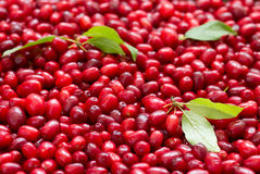 Ripe cornel berries Royalty Free Stock Photos