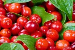 Ripe cornelian cherry Stock Photography