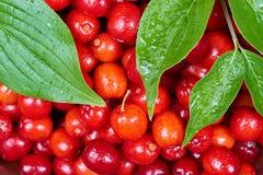 Ripe cornelian cherry Stock Photos