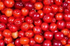 Ripe cornelian cherry Stock Image