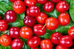 Ripe cornelian cherry Royalty Free Stock Images