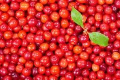 Ripe cornelian cherry Royalty Free Stock Image