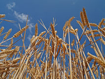Ripe Cornfield Royalty Free Stock Images