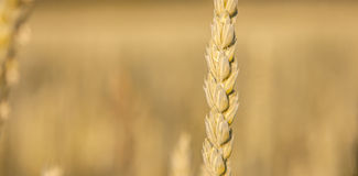 Ripe cornstalk. Macro isolated in Golden cornfield Royalty Free Stock Photography
