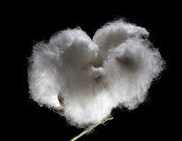 Ripe cotton Stock Images