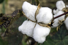 Ripe cotton boll. Close up of a cotton boll in the field Stock Photos
