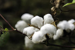 Ripe cotton boll. Close up of a ripe cotton boll on the plant prior to harvest Royalty Free Stock Photo