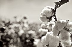 Ripe cotton bolls on branch Stock Image